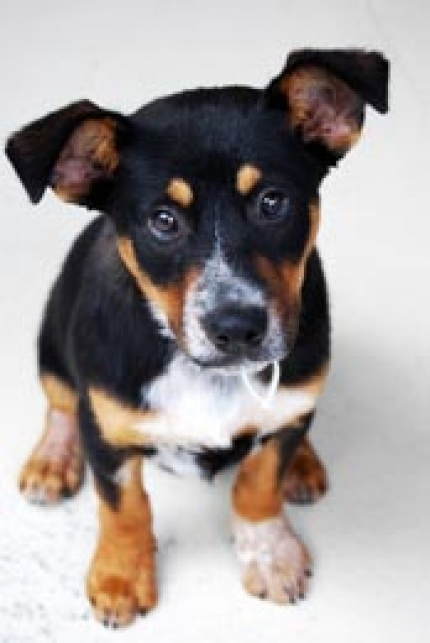 Dog Ready For Adoption Australian Shepherd Corgi Mixed ...