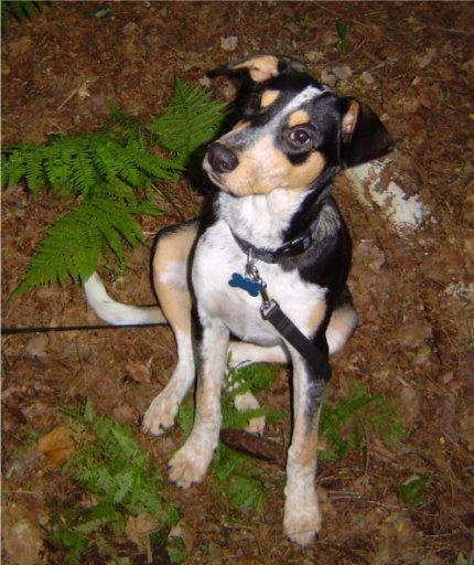 Doberman Border Collie Mix   Dog Breeds Picture