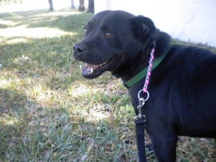 Black, labarador, dog, adopt